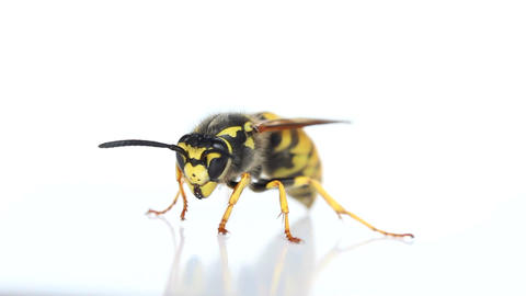 Wasp On A White Background stock footage