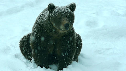 The brown bear in snow at nature winter Footage
