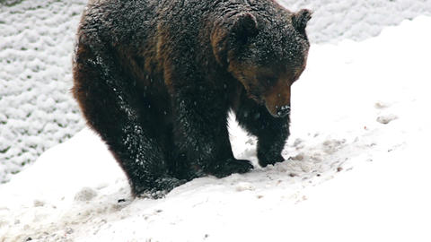 The brown bear in snow at nature winter Live Action
