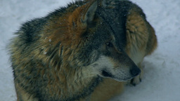 Wolves playing and move through a forested area in Footage