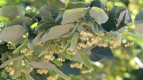 Linden trees in bloom Footage