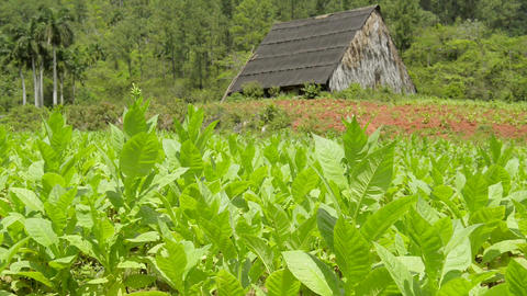 Cuban Tobacco Plantation And Fields In Vinales Cub stock footage