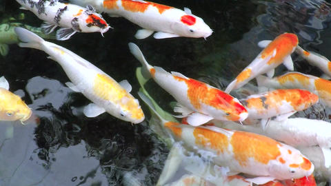Asian Carp Swimming In A Quiet Traditional Pond stock footage