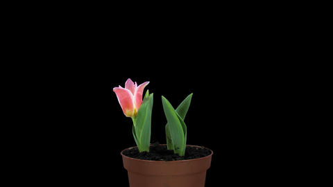 Growing, opening and rotating red tulips with ALPH Footage