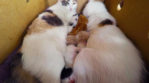 Cat Breast Feeding Kittens, Newborn kittens with a Footage