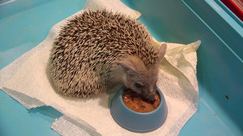 Hedgehog eats from a bowl. 4K Footage