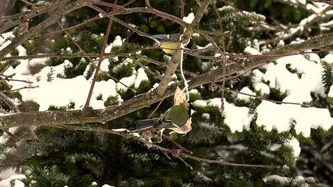 Bullfinch pecking bread on wood Footage