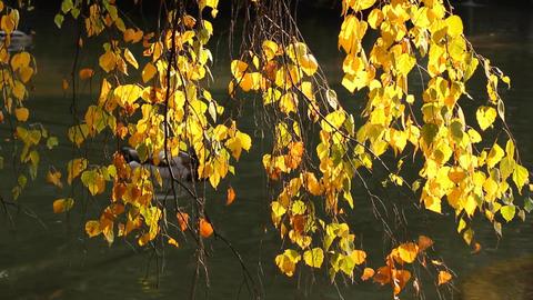 Autumn Lake Scene with Ducks Stock Video Footage