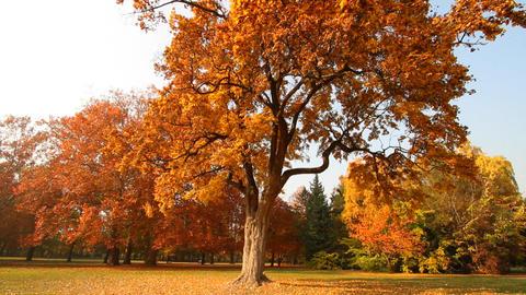 Beautiful Autumn Scene 01 falling leaves Stock Video Footage