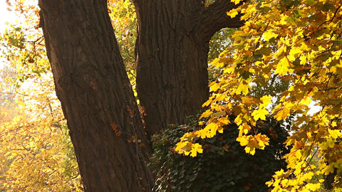 Beautiful Autumn Scene 07 falling leaves Stock Video Footage