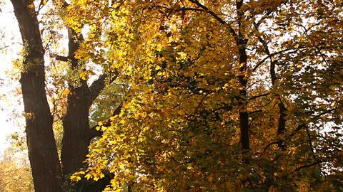 Beautiful Autumn Scene 09 falling leaves Stock Video Footage