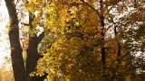 Beautiful Autumn Scene 09 falling leaves Footage
