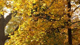 Beautiful Autumn Scene 11 falling leaves Stock Video Footage