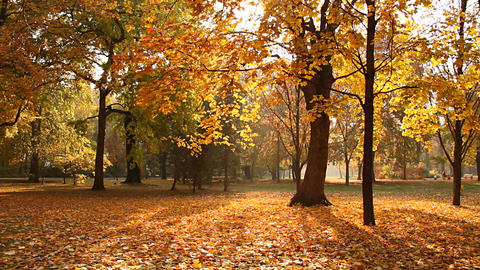 Beautiful Autumn Scene Elm 05 falling leaves Footage