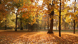 Beautiful Autumn Scene Elm 05 falling leaves Stock Video Footage