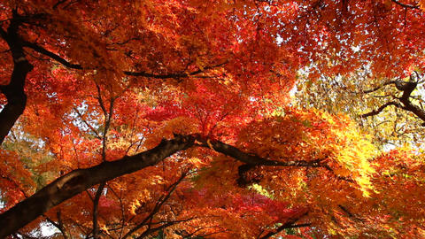 Beautiful Autumn Tree 01 Footage