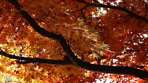 Beautiful Autumn Tree 04 light reflections Footage