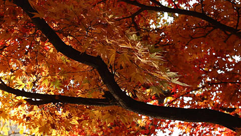 Beautiful Autumn Tree 04 light reflections Stock Video Footage
