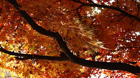 Beautiful Autumn Tree 04 light reflections Stock Video Footage