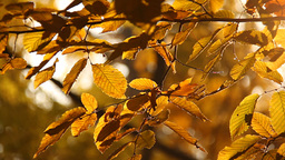 Elm Autumn Leaves 02 close up Stock Video Footage
