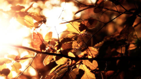 Elm Autumn Leaves 04 close up stylized Footage