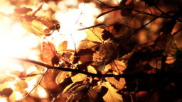 Elm Autumn Leaves 04 close up stylized Stock Video Footage