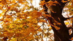 Sycamore Autumn Leaves 02 close up Stock Video Footage