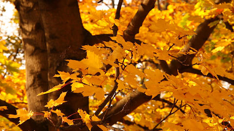 Sycamore Autumn Leaves 04 close up Stock Video Footage