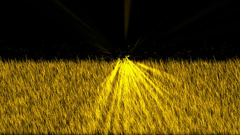 golden light exposure on the grass.Grassland,wheat,barley,plant,parks,seedling Animation