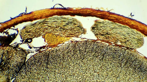 Сross section of the spinal cord under microscopi Live Action