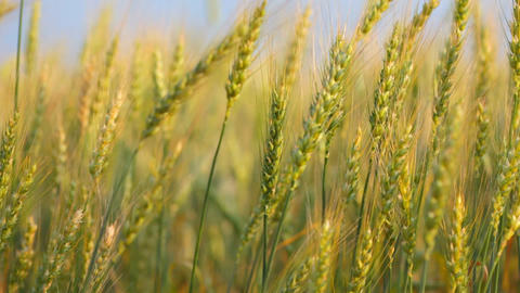 Ripe Ears Of Wheat In The Field Wave On A Wind stock footage