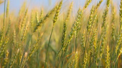 Ripe ears of wheat in the field wave on a wind Footage