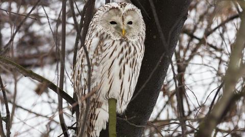 Ural owl Live Action