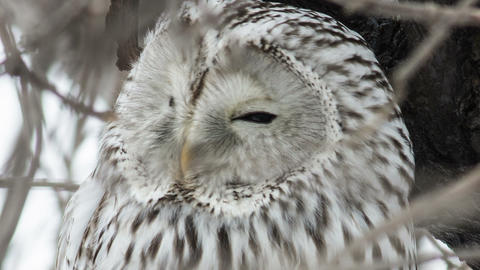 Ural owl 3 Live Action