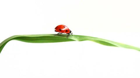 Ladybird passes over grass Footage