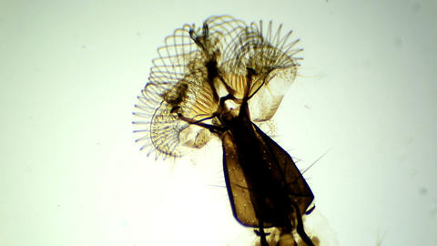 Mouthparts fly under the microscope (Musca Mouth p Live Action