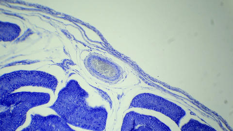 Slice the Testis cat under the microscope (Testis  Footage