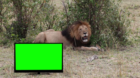 Lion resting in savannah. TV with Green screen Footage