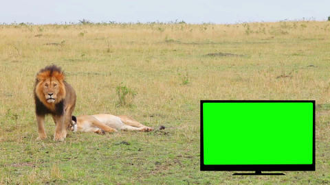 TV with green screen, lion, lioness in the savanna Footage