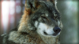 Eurasian wolf head looks around at twilight time, slow motion Footage