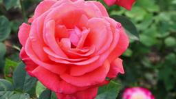 Hybrid Tea Rose Footage
