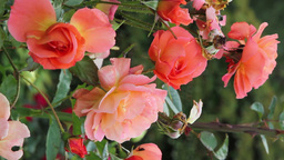 Hybrid Tea Roses (Vertical Footage) ビデオ