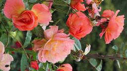 Hybrid Tea Roses (Vertical Footage) Footage