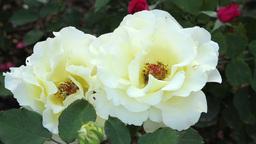 Hybrid Tea Roses Footage