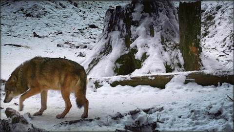 Eurasian Wolf In Winter Scenery, Real Time stock footage