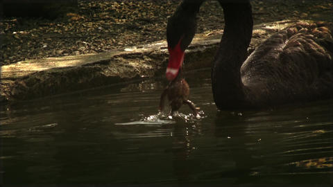 Black swan attacking and play with a frog in water, real time Footage