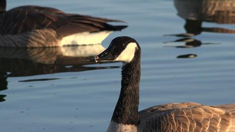 Snow Geese Closeup At Sunset stock footage