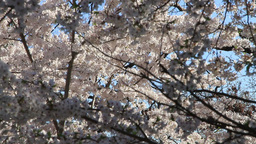Sakura Flowers, White Cherry Blossoms, Spring Flowers Footage