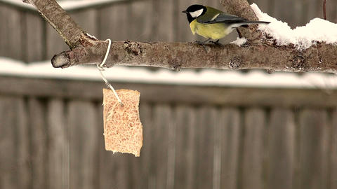 Bullfinch pecking bread on wood Footage