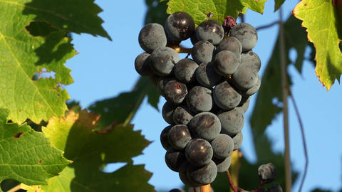 Views of a Tuscan Vineyard (3 of 11) Footage